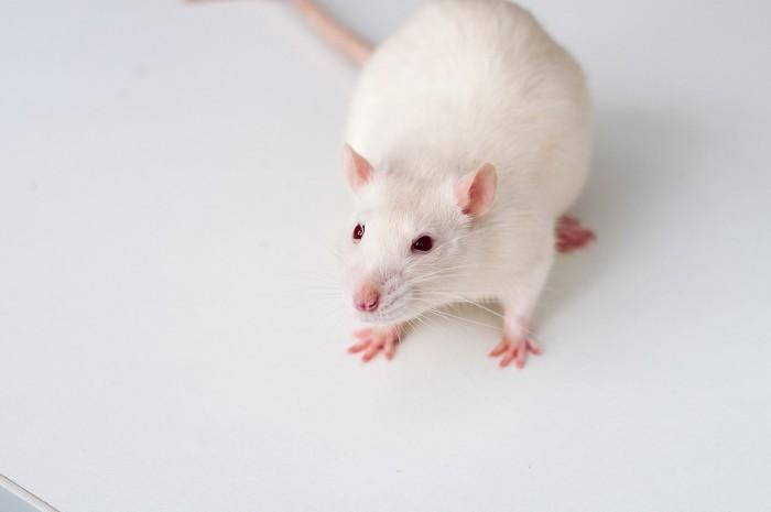 1599px-White_rat_on_table.jpg
